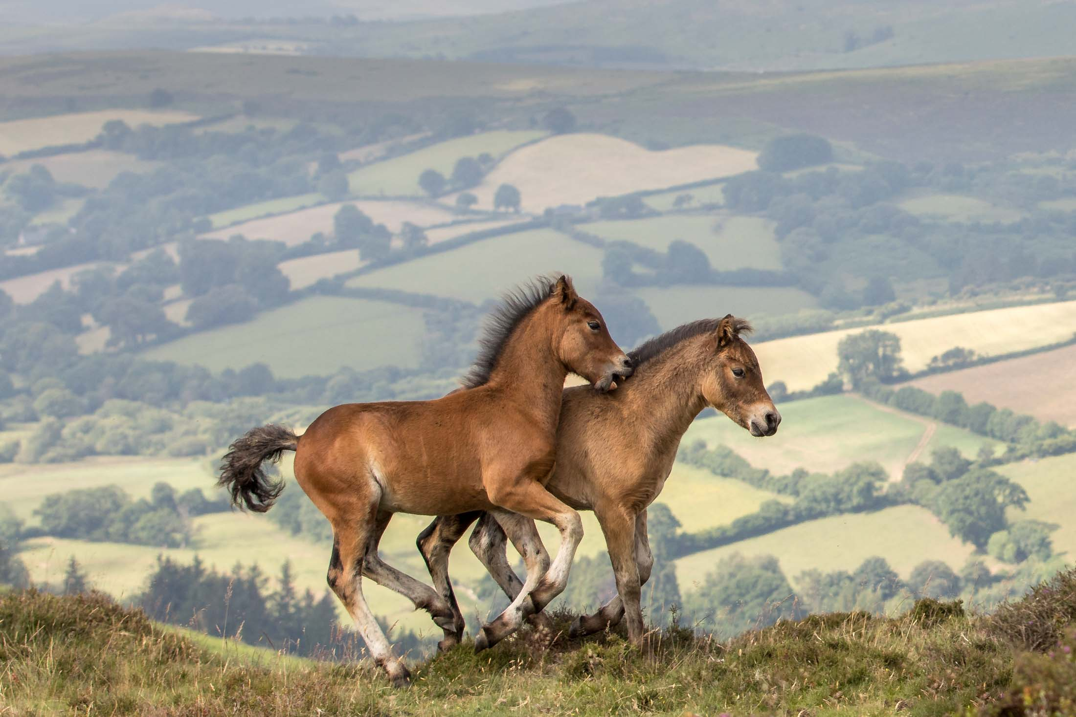 Dartmoor Pony Foals at Play