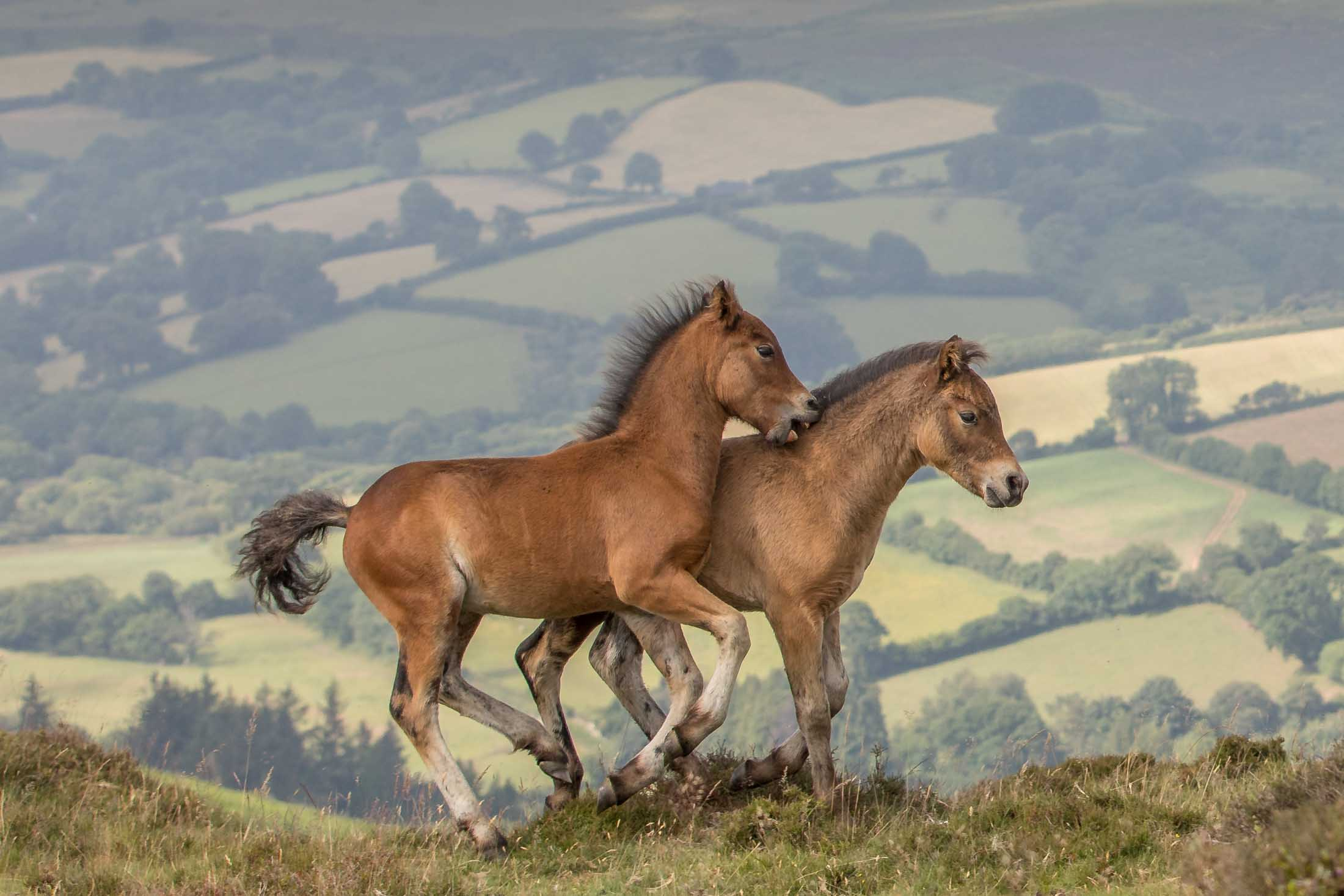 Dartmoor Pony Foals at Play