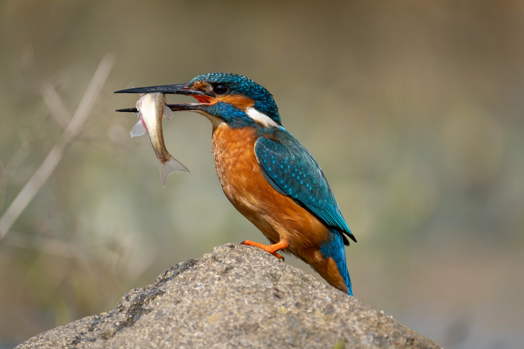 kingfisher with fish2